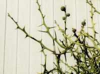 Thorn bush, detail