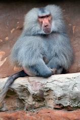 Hamadryas Baboon sitting on rocks