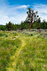 Grassy Path and Pine Tree