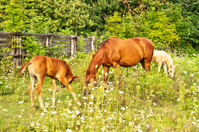 Quarter Horse mare with foal and a palomino