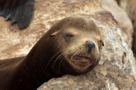 Sleeping Brown Sea Lion