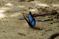 Menalaus Blue Morpho