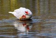 Muscovy duck bathing