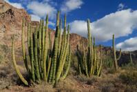 Trio of Organ Pipe Cactus