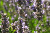 Common blue butterfly, U.K.