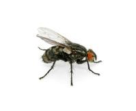 macro of  fly
