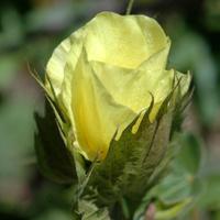 cotton flower, Gossypium barbadense