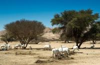 the Arabian oryx in biblical Hai-Bar nature reserve, Israel