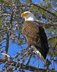 Bald Eagle Vertical View