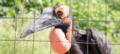 Large images of the Kafrsky horned raven