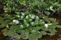 Lilly Pad Pond.