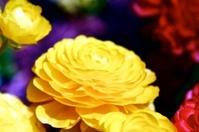 colorful camellias