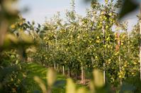 Apfelbaumplantage