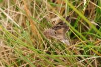 Silver Y Moth, U.K.