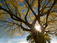 Palo Verde Sunburst