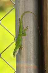 Green Lizard and Rainbow