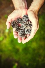 Handful of Pinecones