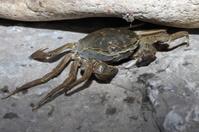 crab  on stone.