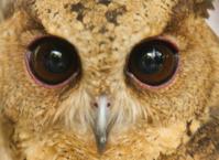 closeup eye of owl