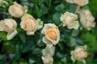 closed up rose