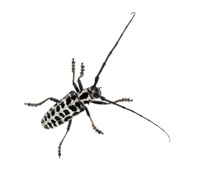 Beetle - Cottonwood borer  (Plectrodera scalator Fabricius).Top