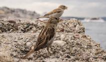 Bosphorus Sparrows