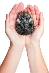 curled up hedgehog