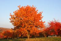 Autumn cherry trees