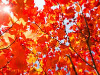 Autumn Leaves with Ray