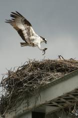 Osprey Delivers Dinner