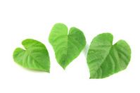 Green leaves shaped like heart.