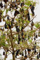 Fruit Bats (Fam; Pteropodidae)