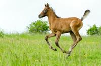 Asil Arabian foal galloping