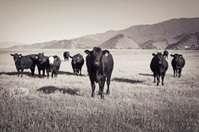 Cows in a field sepia