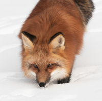 Red Fox Looks Up from Snow