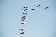 Pink flamingos (Phoenicopterus roseus) flying