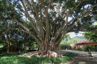 Ficus Retusa,  Cuban-laurel Tree
