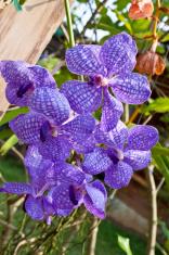 Violet Orchids.