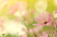 Cosmos flower in sunlight