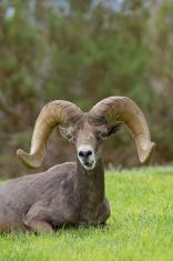 Desert Bighorn Ram Bedded