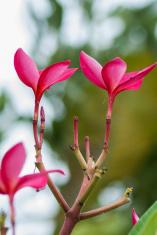 Pink Plumeria flower on tree