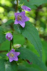Bellflower (Campanula Trachelium)