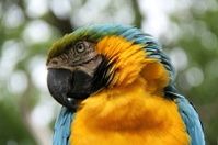 Blue and Orange Tropical Parrot.