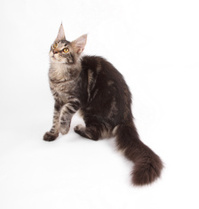 Maine-coon over white background