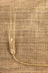 dry wheat on a burlap
