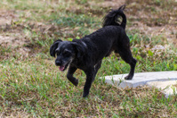 Small black dog walking