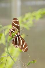 Zebra Longwing on Twig