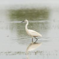 Egretta garzetta or small white heron