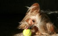 Yorkie licking tennis ball