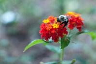 Bee on lantana flower